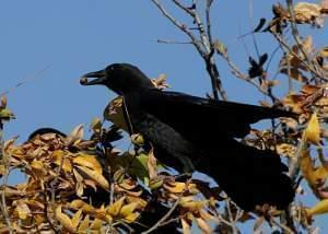 A side-view of robust, all black bird at the top of a tree with a small brown nut held in its bill against a background of clear blue sky.