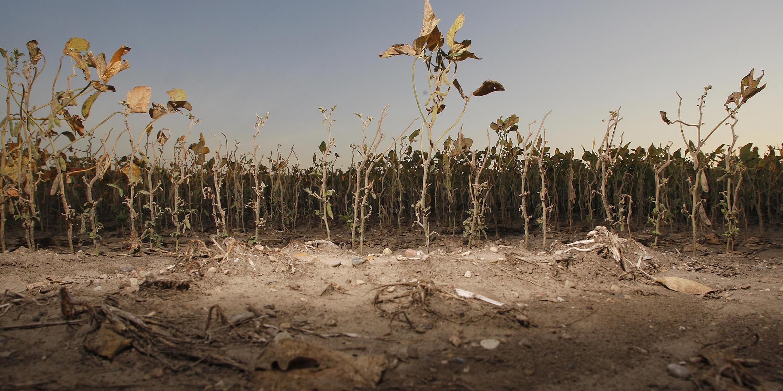 A drought-stricken soybean field near Dayton, Indiana.