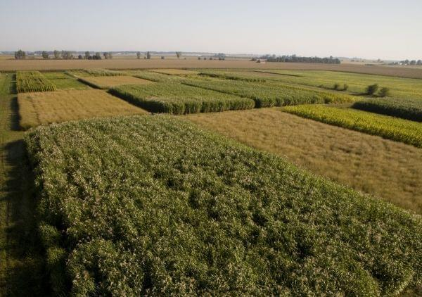Perennial Grasses Illinois : Grasses better than corn for ethanol production says new