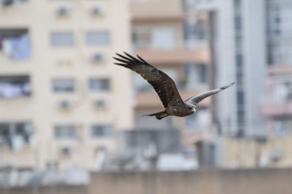 Dark bird of prey soaring against a blurred background of city buildings.