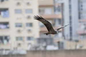 Dark bird of prey soaring against a blurred background of city buildings.