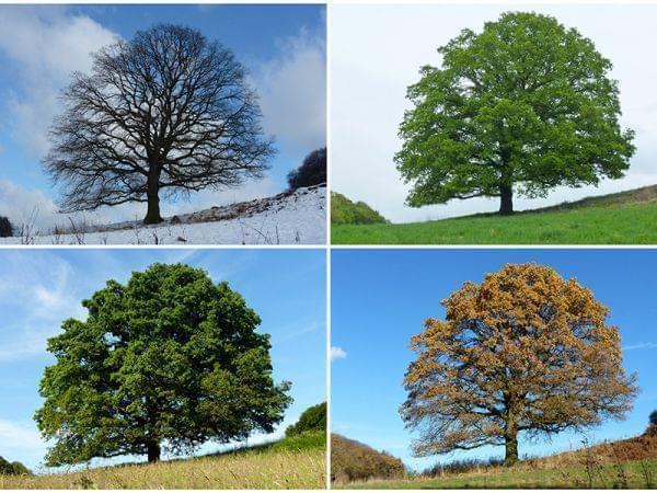 same tree over four seasons