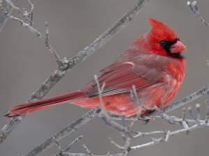 Tight shot of a bright red male cardinal in bare branches.