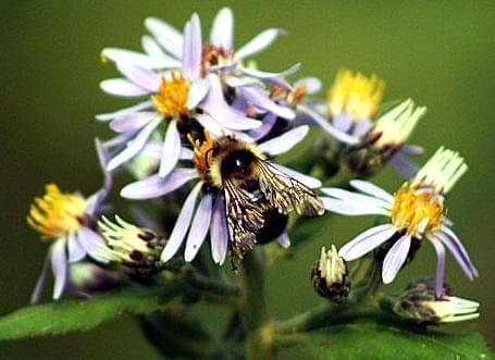 A bee gathers nectar from a flower, while also pollinating it.