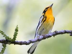 A small bird with brilliant yellow-orange throat and chest perched on a branch photographed from below.