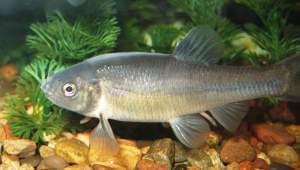 fathead minnow fish