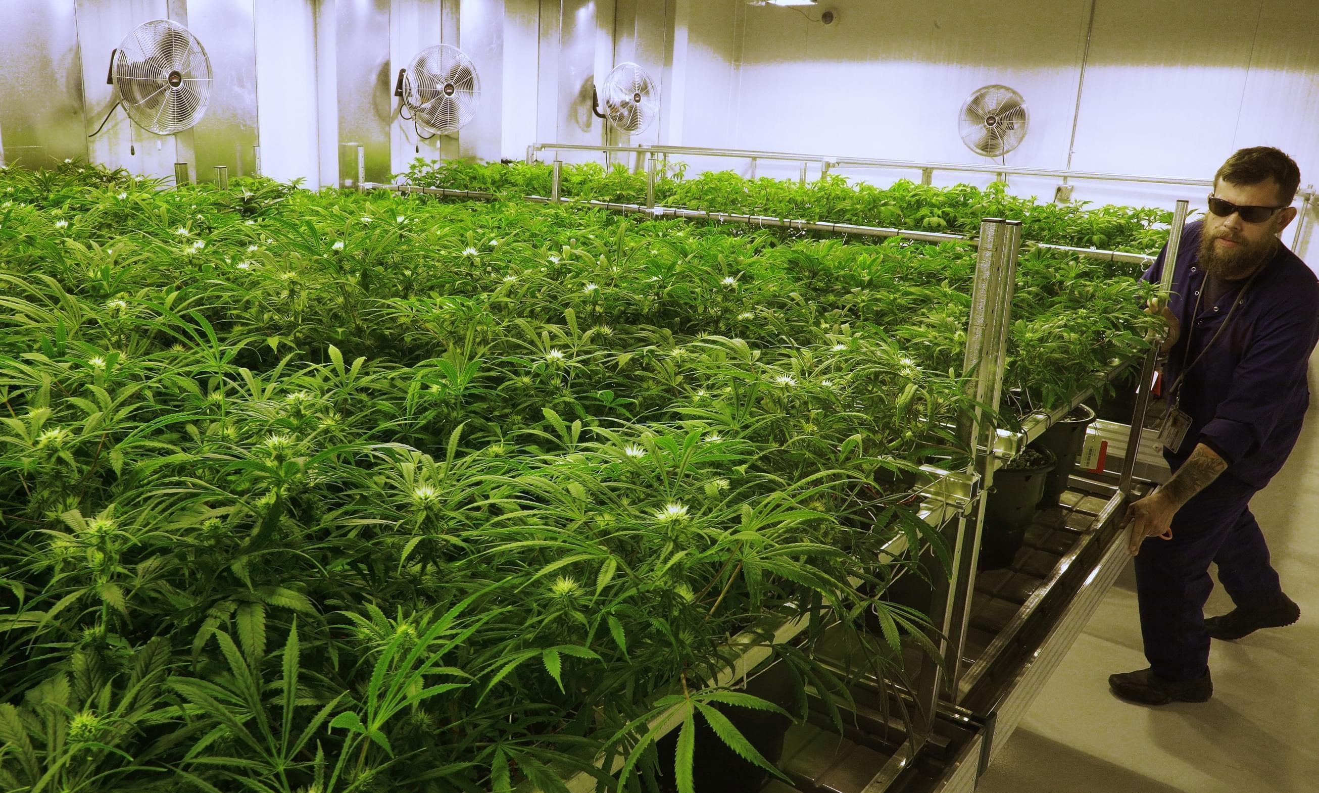 n this Sept. 15, 2015 file photo, lead grower Dave Wilson cares for marijuana plants at the Ataraxia medical marijuana cultivation center in Albion, Ill.