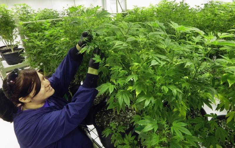 "In this Sept. 15, 2015 file photo, Ashley Thompson inspects marijuana plants inside the ""Mother Room"" at the Ataraxia medical marijuana cultivation center in Albion, Ill"