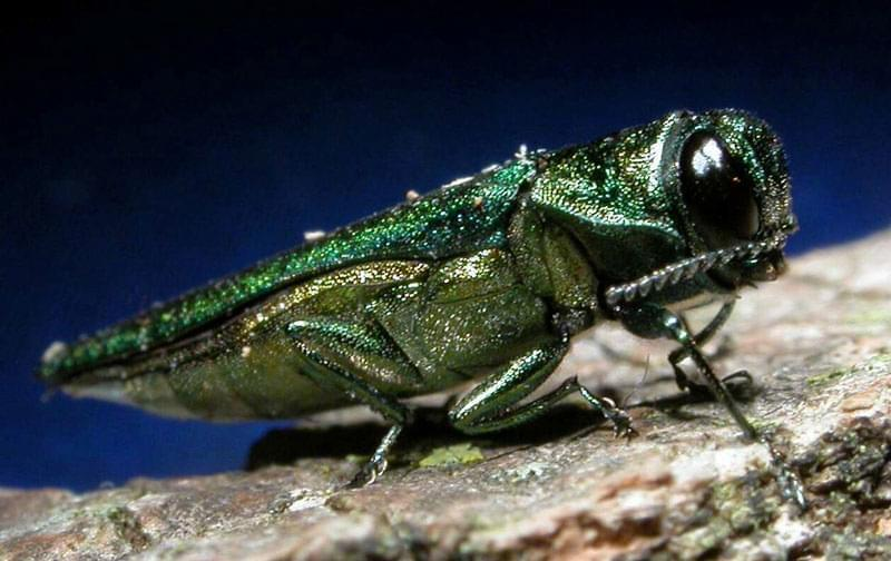 A picture of the emerald ash borer