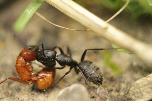 Close-up of a blackish and and a red ant fighting.