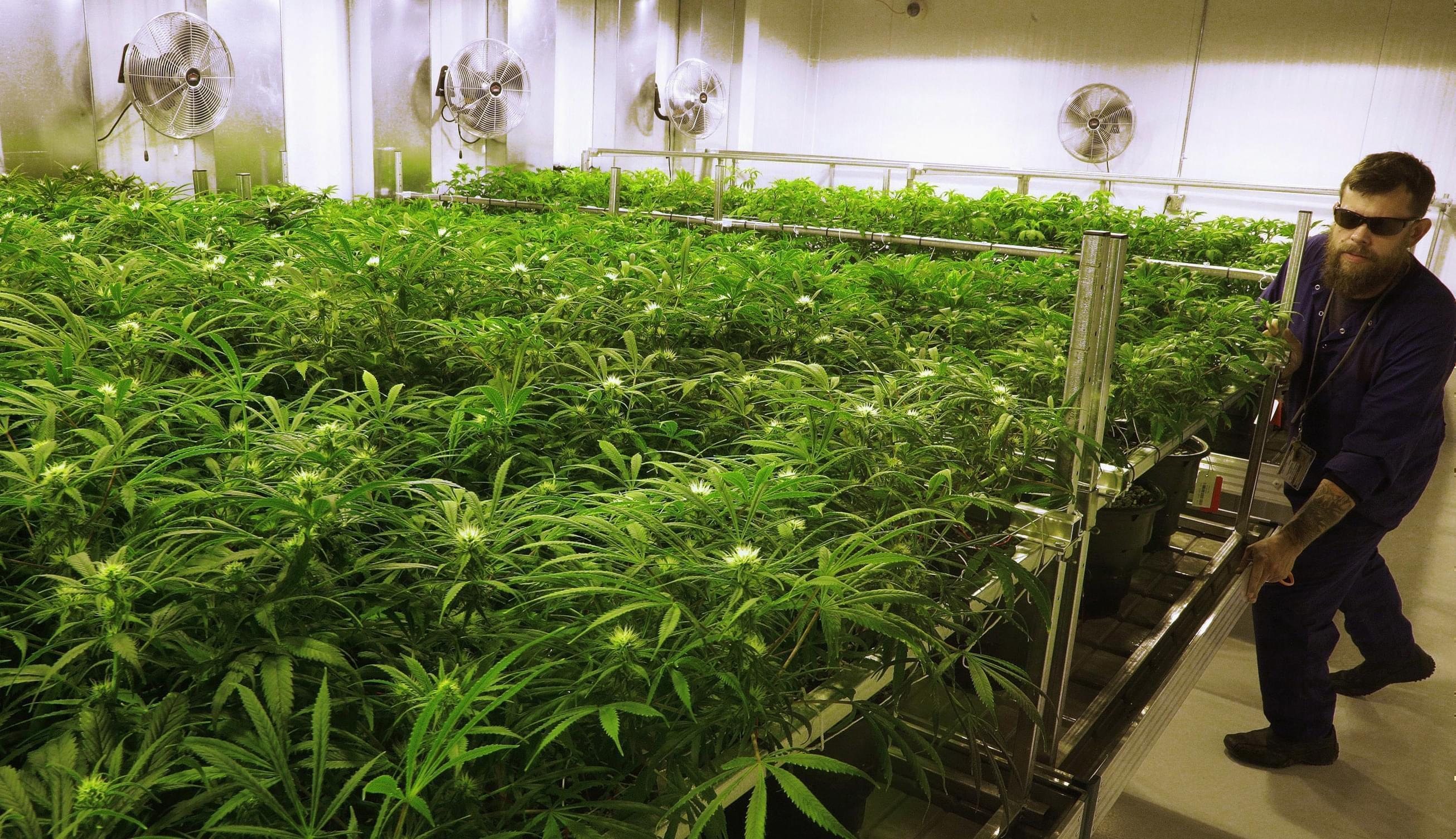 "In this Sept. 15, 2015 file photo, lead grower Dave Wilson care for marijuana plants in the ""Flower Room"" at the Ataraxia medical marijuana center in Albion, IL."