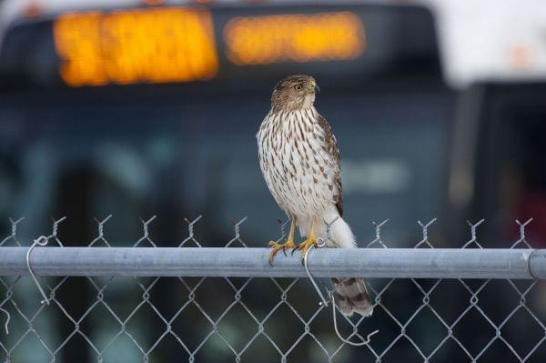 A Cooper's hawk perches on a chain link fence with a city bus as background.