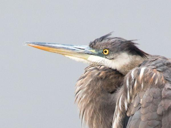 Tight shot of a great blue heron's head and neck with dull gray background.