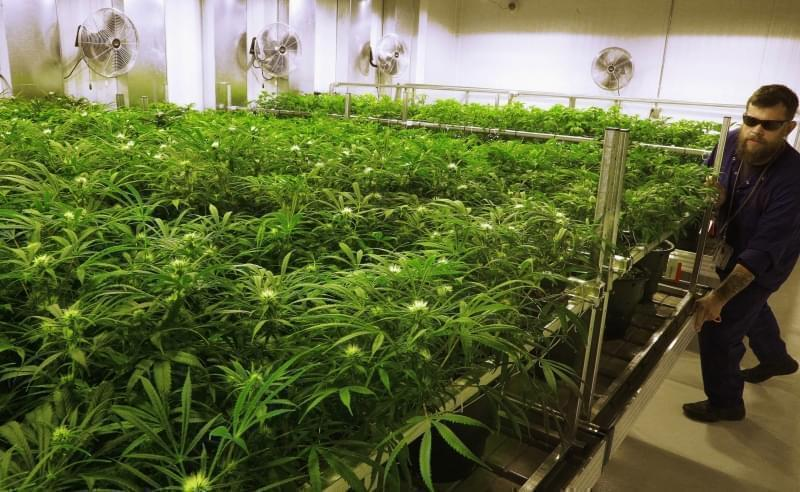 "In this Sept. 15, 2015 file photo, lead grower Dave Wilson cares for marijuana plants in the ""Flower Room"" at the Ataraxia medical marijuana cultivation center in Albion, Ill."
