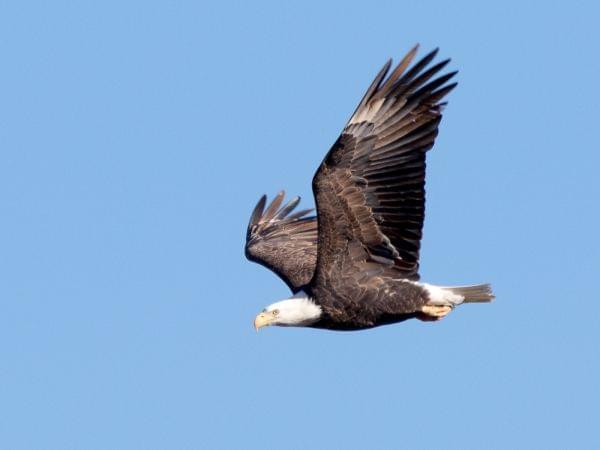 A mature bald eagle in flight.