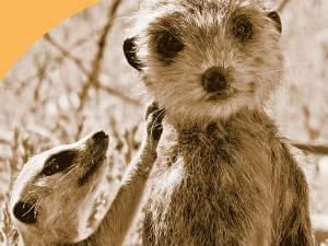 A young meerkat investigates a spy meerkat