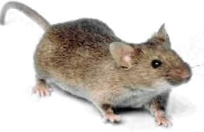 A brown rat.