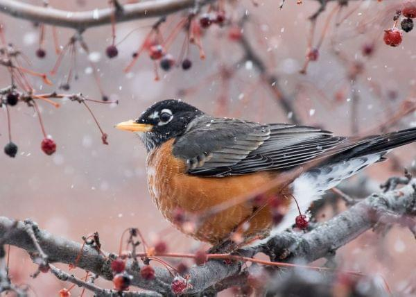 Closeup of an American robin perched on a branch with snow falling around it. Tiny red crabapples dangle from other branches around it.