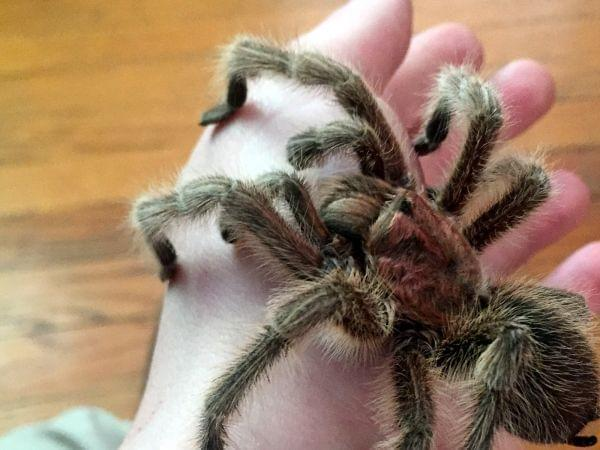 Close-up of the photographer's pet tarantula on his hand.