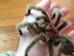 Close-up of the photographer's pet tarantula on his hand.