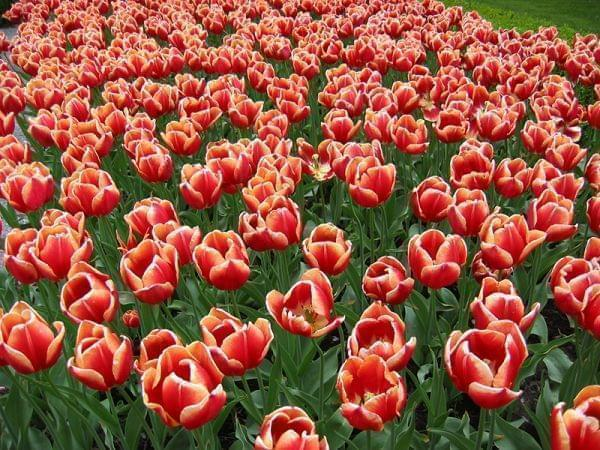 Tulips from Keukenhof Gardens, Lisle, Holland.