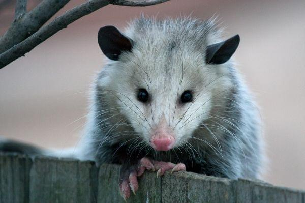 An opossum peeks over a wooden fence directly into the camera.