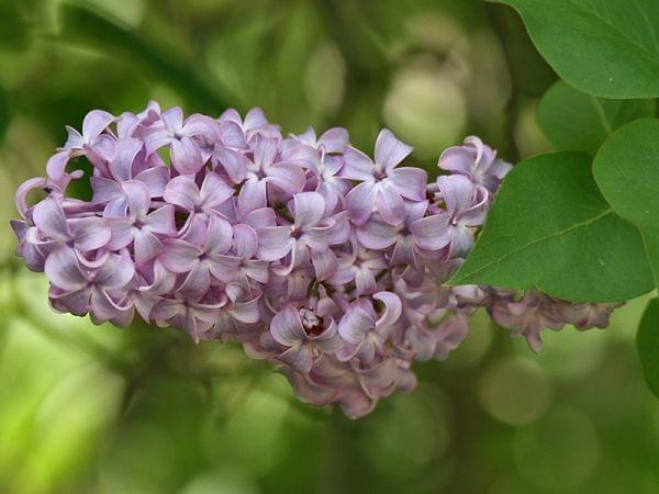 A lilac bush (Syringa vulgaris) showing a panicle with multiple flowers in bloom and leaves. Victoria, Australia.