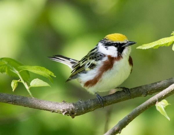 Tight shot of a small songbird with a bright green cap and brown back. It's bright white below with two lateral, chestnut stripes.