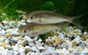 Juvenile silver carp.