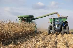 A combine harvests an Illinois corn field