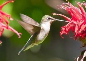 A female ruby-throated hummingbird hovering in front of a flower in a garden.