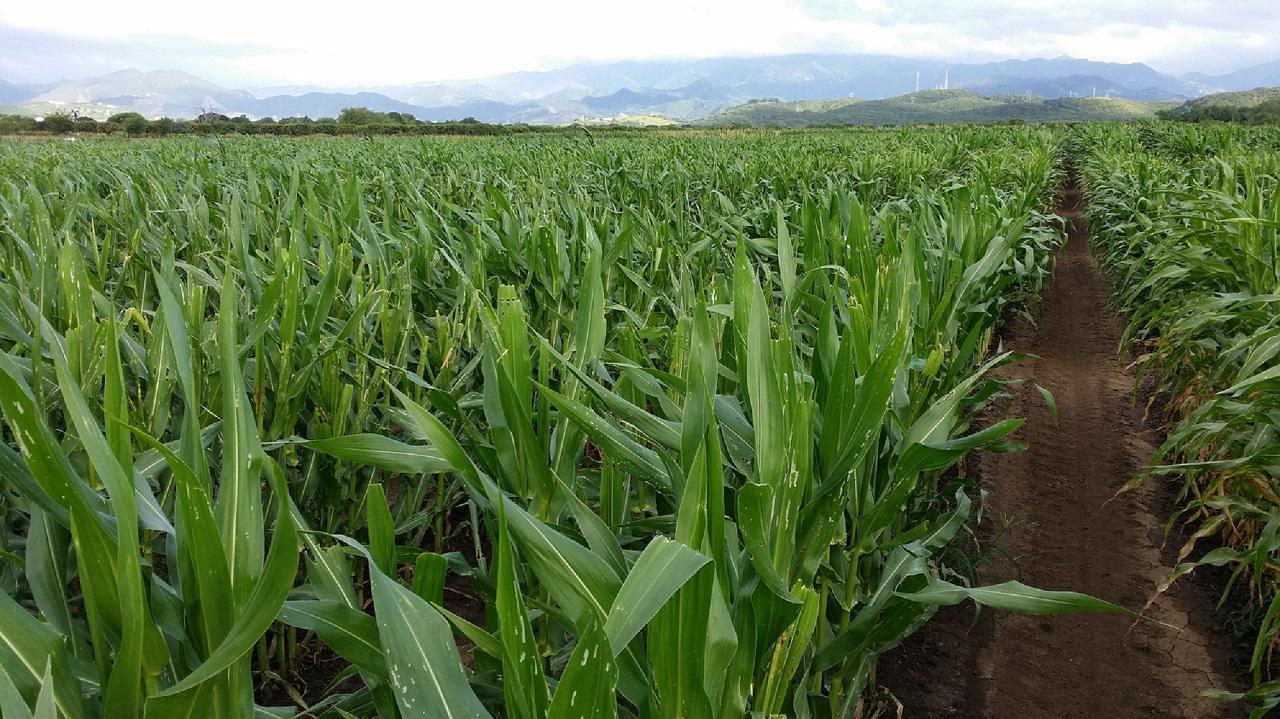 Rows of corn in Puerto Rico.