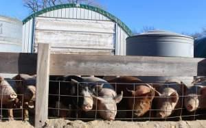 Hogs find the sunshine on a cold January day in eastern Nebraska. In addition to pigs, the Delaney family raises cattle and sheep and grows corn, soybeans and hay.