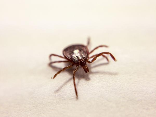 Close up, head-on shot of a tick with one foreleg lifted, on a white piece of paper.