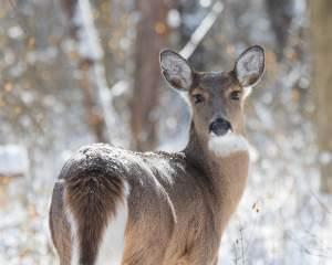 A healthy white-tailed doe in winter.