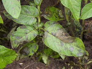Phytophthora infestans potato 'Doré'