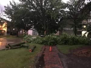 A severe storm Sunday damaged homes and trees in Champaign-Urbana, including this tree on Clark Street in Urbana.