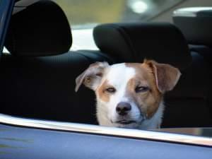 Dog in a car looking out an open window