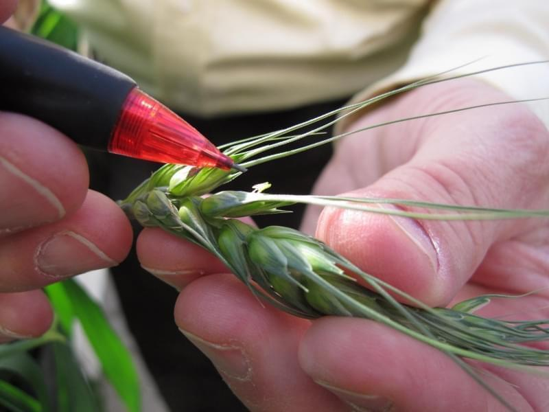 A Nebraska researcher examines experimental wheat grown in a greenhouse.