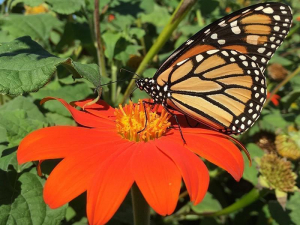 Monarch butterfly on a tithonia bloom.