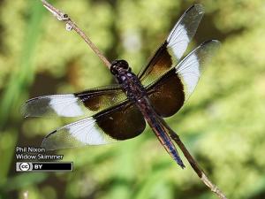Widow Skimmer bug