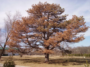 An Austrian pine tree stricken with pine wilt.