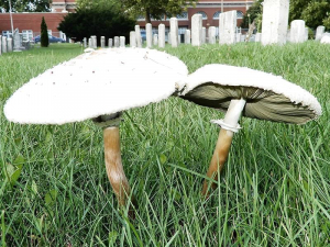 two mushrooms in a yard