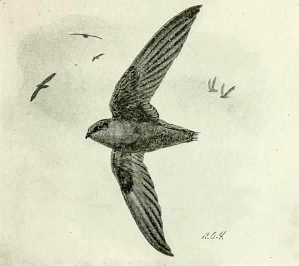 "Sketch of chimney swifts from a 1913 publication for teachers in New York giving them material for ""nature study."""