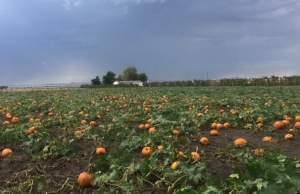 Field of pumpkins.