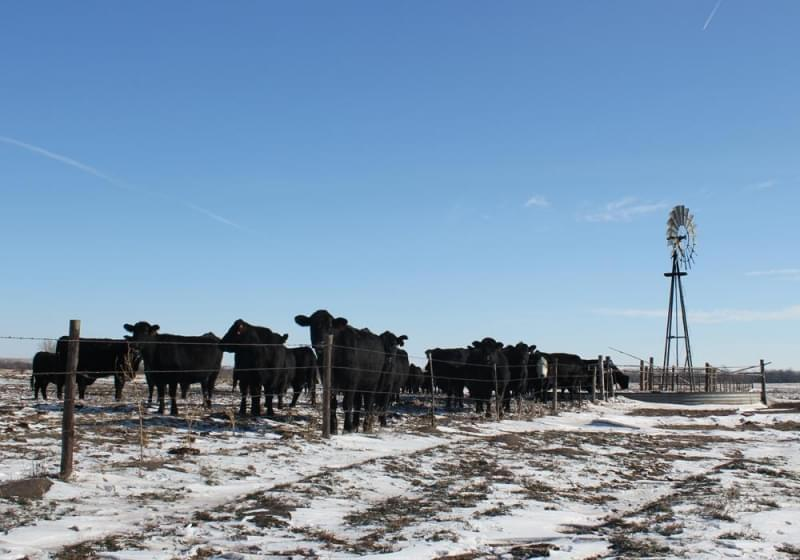 Cattle gather for a drink on a ranch in Nebraska.