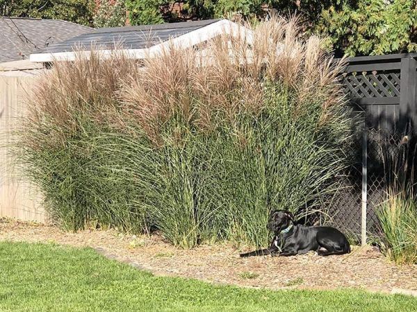 dog sitting in front of Miscanthus grasses