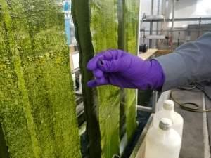 Gross-Wen Technologies is growing algae on belts that circulate through wastewater as a cheaper way to clean that water of phosphorus and nitrogen. It also harvests that algae, scraped off easily here by a gloved hand, to use as slow-release fertiliz