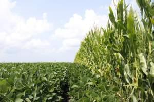 Corn and soybeans in a field.