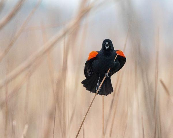 A red-winged blackbird faces on a bare stalk of tall grass faces the viewer, mouth wide open in a call.